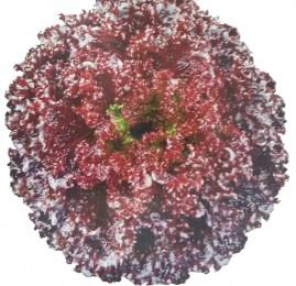 Alface Crespa Roxa TPC 2.000 sementes peletizadas
