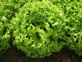 Alface Solaris SVR 06511236 com 5.000 sementes peletizadas