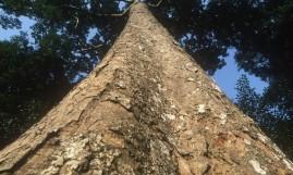 Kit Plante Mogno Africano Khaya ivorensis com 100g de sementes