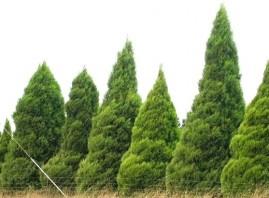Cipreste dos Himalaias (Cupressus torulosa) 2 g aprox. 250 sementes