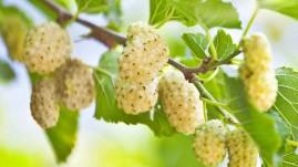 Amora Branca - Amora do Líbano - Morus alba - pacote com 100 sementes