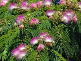Mimosa Pudica - Dormideira, fecha folha quando toca 100 sementes