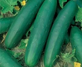 Pepino Aodai 50g aprox. 1.750 sementes