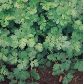 Coentro Verdão 100g  sementes