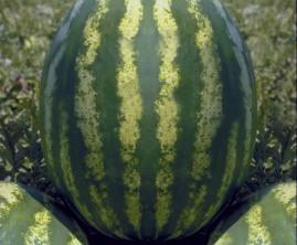 Melancia híbrida Rochedo F1 com 1000 sementes